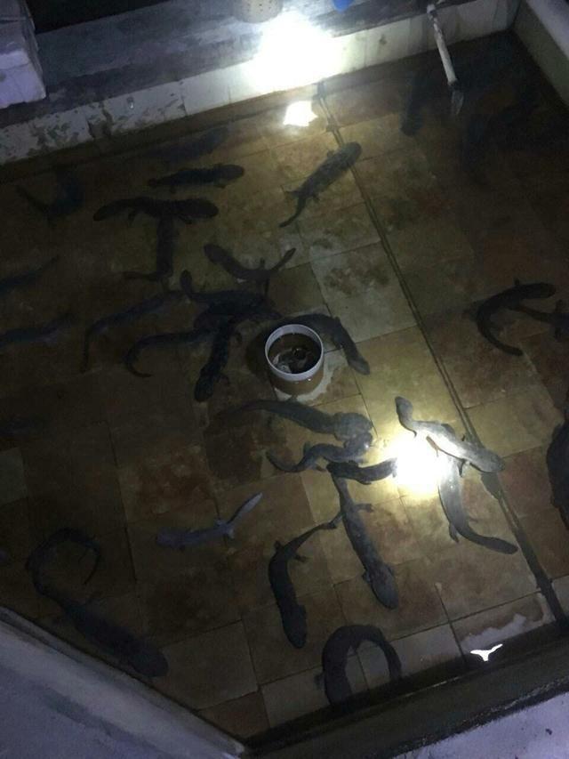 广东白鳝养殖