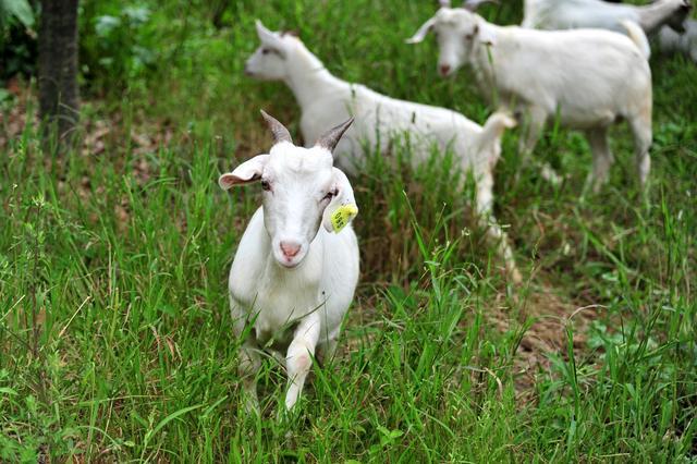 广东养殖羊需要什么程序