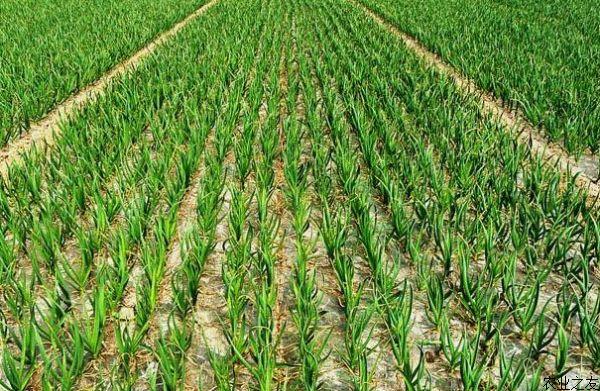 大蒜种植:有机大蒜栽培技术