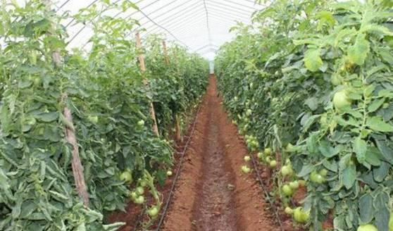 种植番茄怎么施肥?