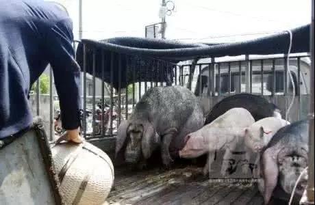 猪贩子的伎俩,已无处遁形!
