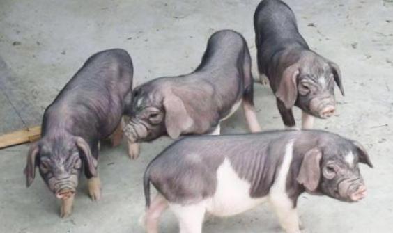 南京12个万头猪场全部投产运营