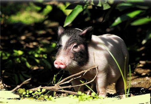 正大集团在广东雷州投40亿元建100万头生猪产业链项目