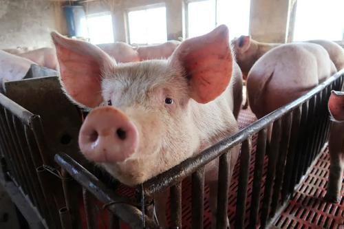 成都现十几元一斤猪肉 生猪集中出栏还在路上