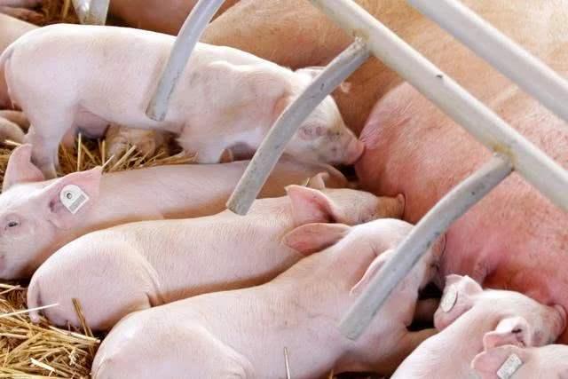 母猪返情不断上演的根源何在?