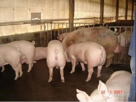 泰国育种专家教你如何做好母猪的管理