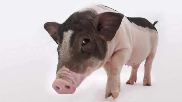 仔猪去势后内出血怎么办?
