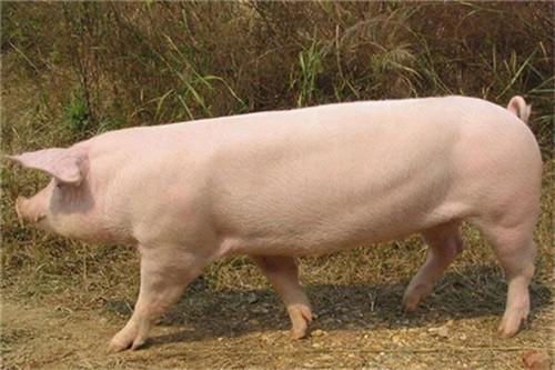 猪吃土不吃料,还吃仔猪?其实原因很简单