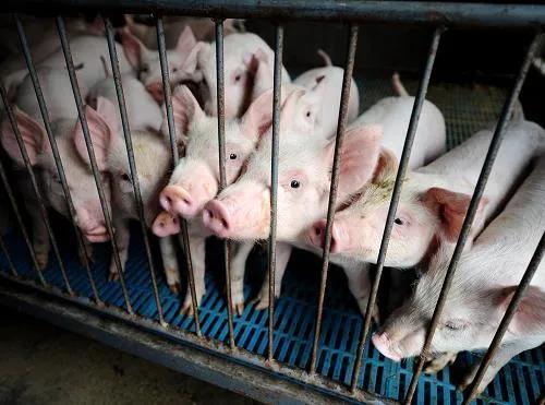 养猪业有多狂热?一年时间,猪企数量近乎翻倍!房企跨界养猪最多的省份是广东