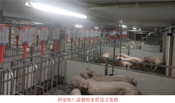 河南民望农牧股份有限公司成功进口1000头法国SPF核心群曾祖代种猪