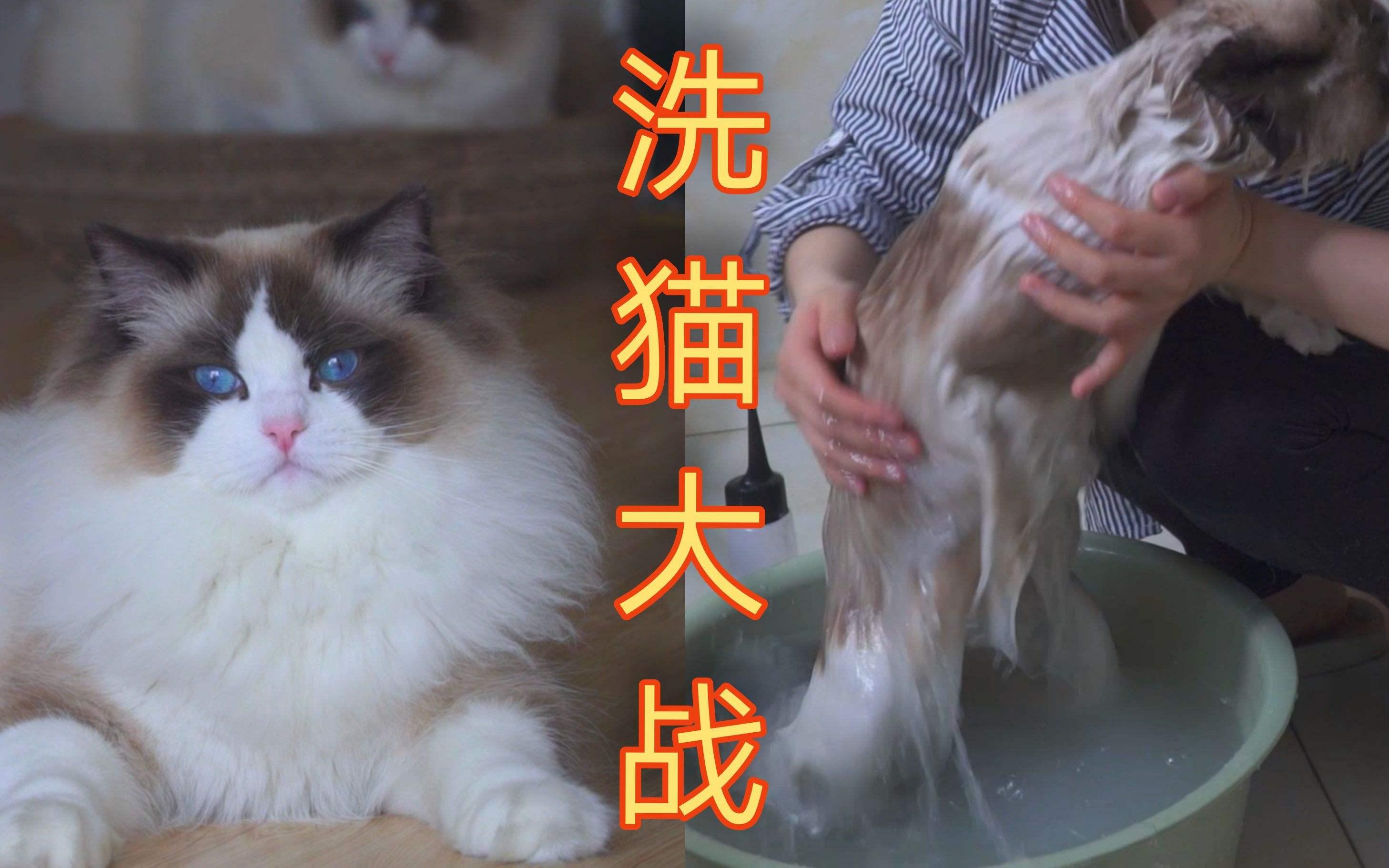 怎么让布偶猫乖乖的洗澡