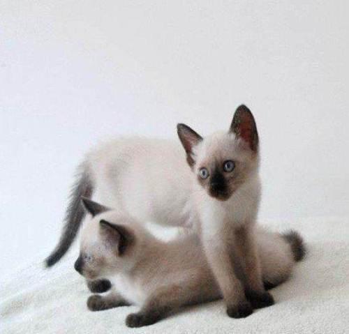 怎么给暹罗猫美容