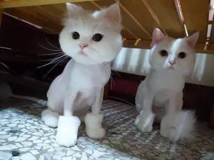 给猫咪剃毛需要注意什么