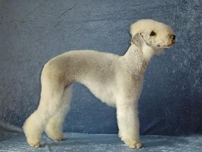 贝灵顿梗犬毛发的护养方法