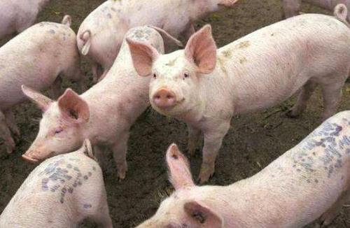 猪蹄冠炎的症状与治疗方法