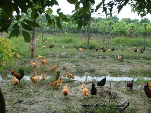 林地如何圈养土鸡?有哪些需要关注的重点?