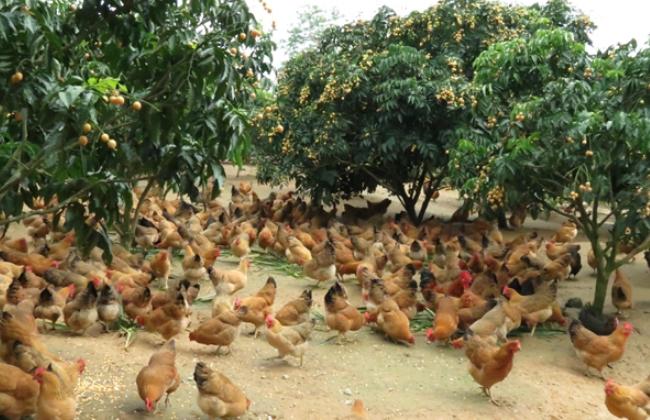 林下养鸡方法和技术介绍