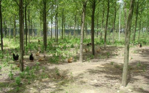 农村养殖业致富项目之林下生态土鸡养殖技术