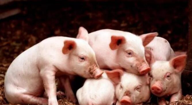 猪场发生腹泻的几种风险因素以及预防措施。