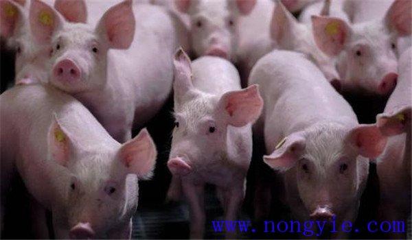 猪高热流感的具体症状,猪高热流感用什么药治