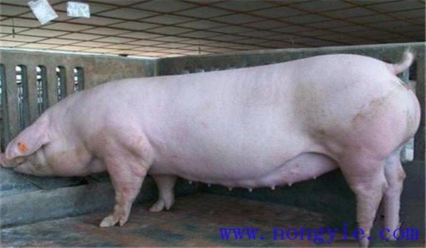 猪子宫脱落是怎么引起的?猪子宫脱落怎么治疗