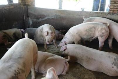 母猪产后食欲不振怎么办?三步走