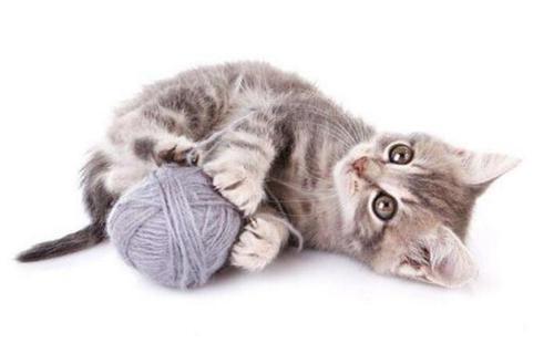 如何训练猫衔物,训练猫衔物的方法