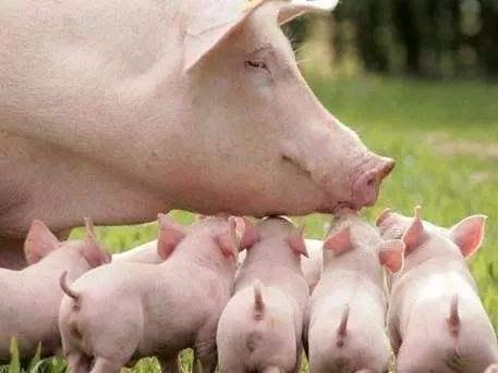 自繁自养猪场免疫经验分享