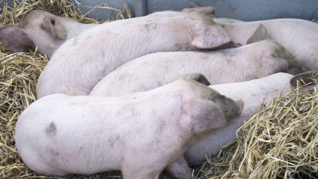 猪传染性腹泻症状有哪些?猪传染性腹泻怎么治疗?