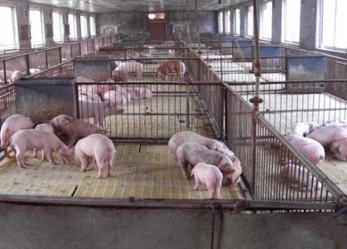 猪传染性腹泻怎么办?解决办法