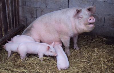 母猪不吃食是什么原因?母猪产后不食怎么办?