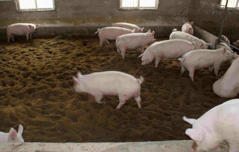 非洲猪瘟的治疗方法,一定要看哦!
