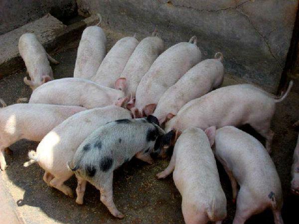 仔猪得了螨虫病能不能治好