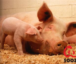 如何解决母猪产后厌食、无乳、便秘、瘫痪!