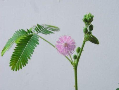 含羞草有什么药用价值,含羞草的功效与作用