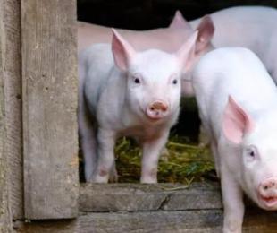 仔猪、育肥猪饲养管理要点