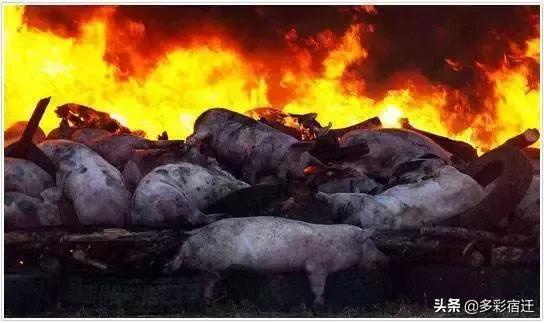 宿迁泗阳县政府发布非洲猪瘟疫区封锁令!猪肉还能不能吃?