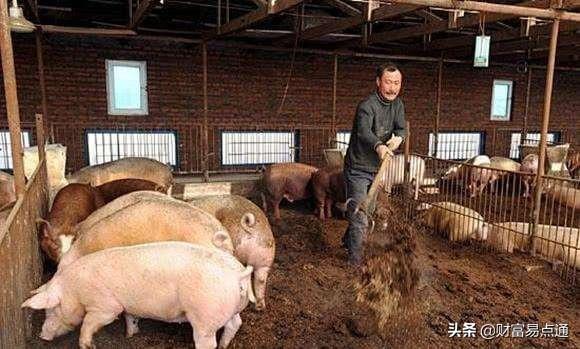 猪肉40一斤 非洲猪瘟难逃干系 为何它在中国传播这么快?原因有四