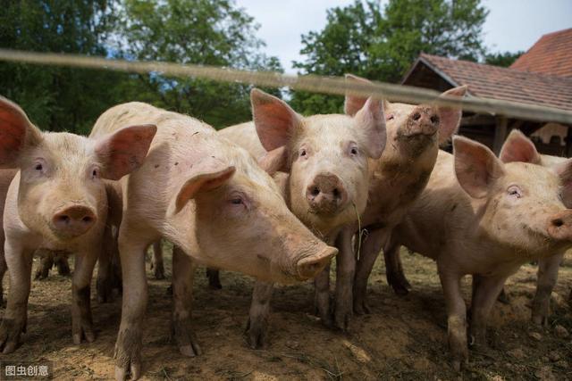 猪肺疫危害有多大?发病率高达40%