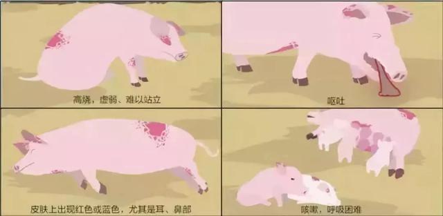 非洲猪瘟到底是咋回事,你想知道的都在这……