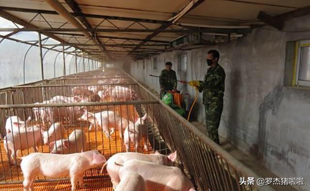 猪瘟是如何形成的?怎样能有效的预防呢?