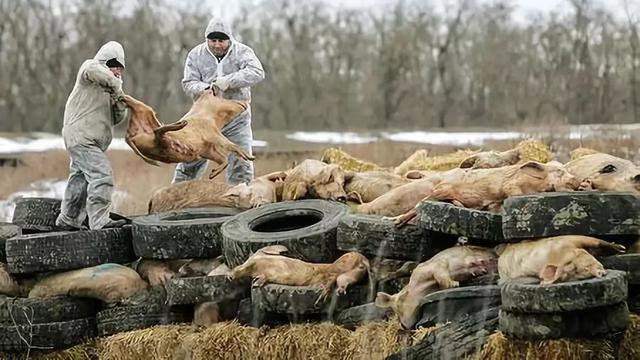 我国首次发生非洲猪瘟疫情!你必须知道的4个问题