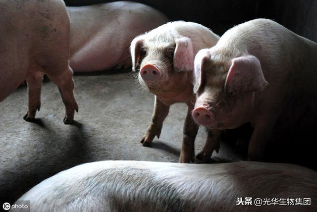 2019-11-24猪价:11涨!今年全球已发13000起非洲猪瘟疫情