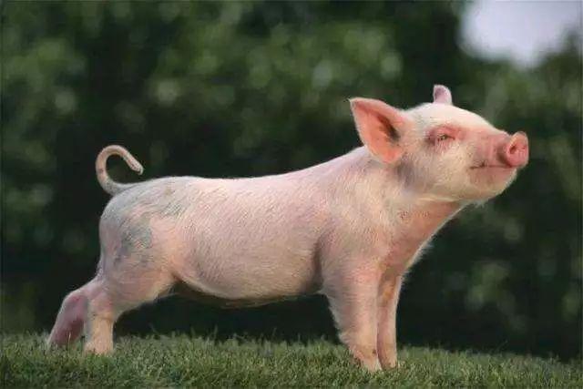 """精致的""""荷兰猪"""",荷兰人别样的""""养猪致富""""之路"""