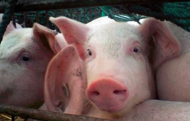 小马观全球:生猪价格九连降;阿里港股一手中签率80%