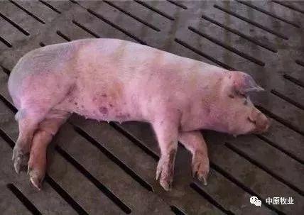 再次上涨!今年世界猪瘟1.3万起,养殖户需谨慎
