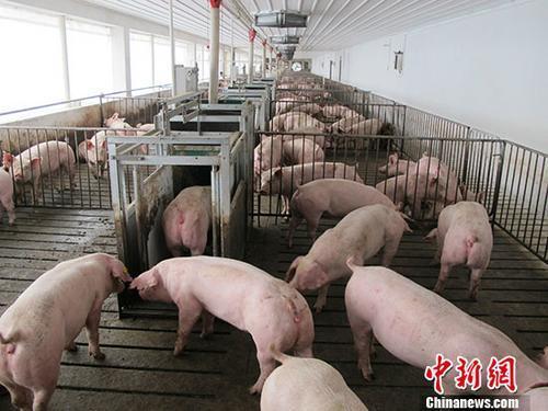 农业农村部:对产销、使用非法非洲猪瘟疫苗顶格处罚