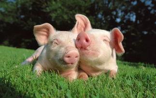 中国非洲猪瘟病毒攻关取得进展